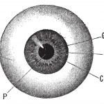 Iris, vintage engraved illustration. Human eye. Di...