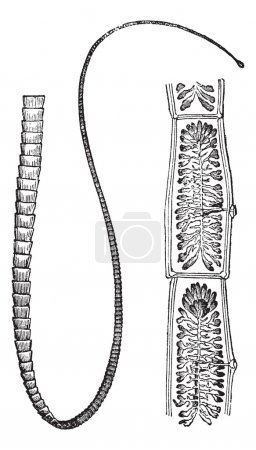 Pork Tapeworm or Taenia solium, vintage engraving