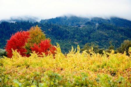 Coloured Autumn Vineyards