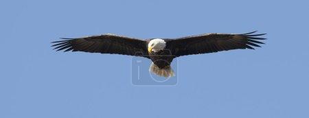 Photo pour Le pygargue à tête blanche adulte s'élève haut contre le ciel bleu . - image libre de droit