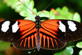 Doris longwing, heliconius motýlů doris