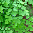 Closeup of maidenhair fern, one of the most common...