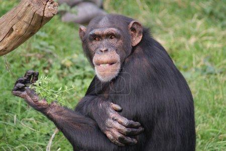 Photo pour Imagerie intime du groupe des Chimpanzés communs - Troglodytes Pan - image libre de droit