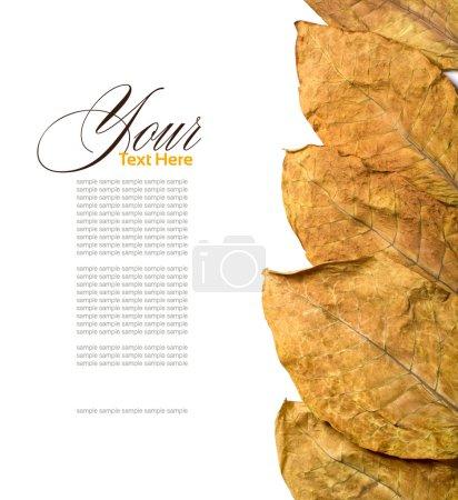 Tobacco leafs