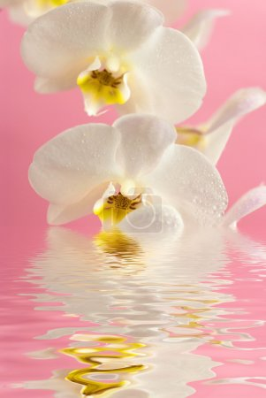 White orchid in water with reflection on pink background
