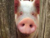 """Постер, картина, фотообои """"большая свинья"""""""