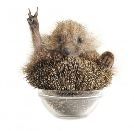 Hedgehog with gesture a victory on a white backgro...