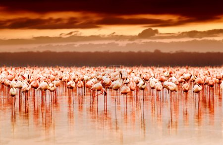 African flamingos on sunset