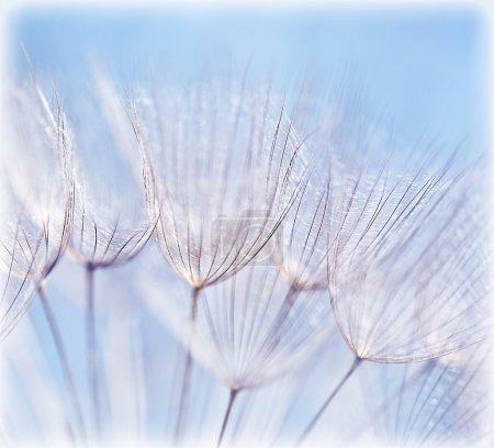 Photo pour Bleu abstrait fond de fleur de pissenlit, extrême gros plan avec mise au point douce, beaux détails de la nature - image libre de droit