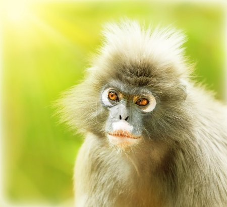 Photo pour Dusky Leaf Monkey, portrait en gros plan d'un visage de singe mignon, environnement animal, langur dans la nature sauvage, voyage safari de la faune, Monkeyland, Afrique du Sud - image libre de droit