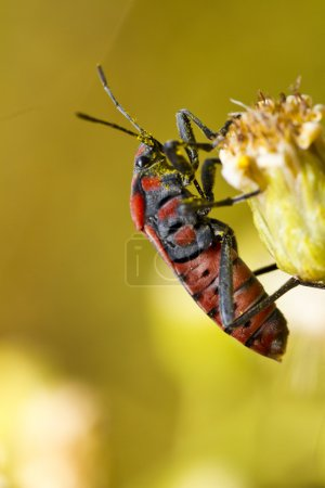 Chinch Bug (Spilostethus pandurus)