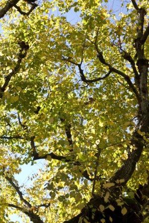 Photo pour Vue sur les branches d'arbres automne magnifique sur les grands arbres. - image libre de droit
