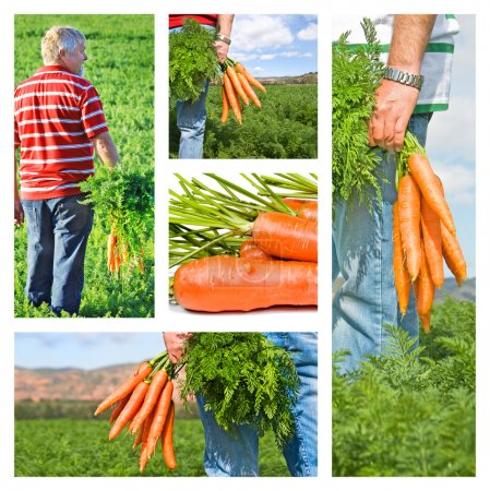 Photo for Collage of carrot farmer on his farm - Royalty Free Image