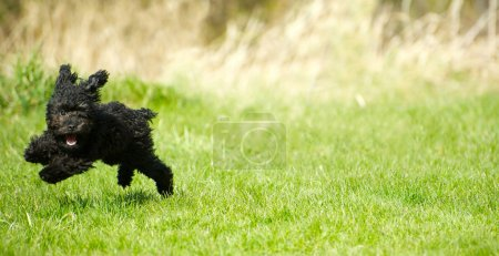 Toy poodle puppy romping.