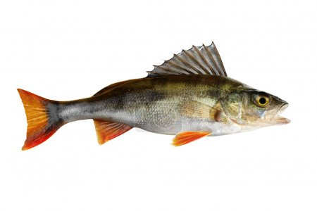 Perch, whole fish, isolated on white