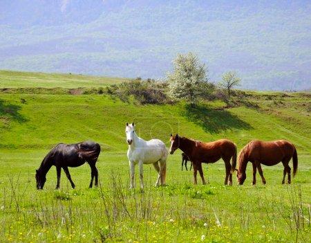 Photo pour Troupeau de chevaux pâturage dans une vallée avec colline verdoyante et montagne sur fond - image libre de droit