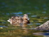 Kachna na jezeře, anas platyrhynchos