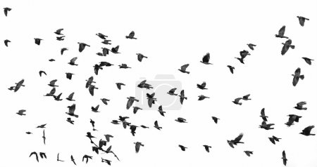 Photo for Flock of birds isolated on white background (Rook and Jackdaw) 2 - Royalty Free Image