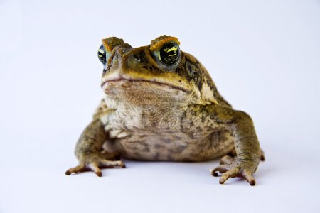 Cane toad (Bufos marinus) closeup and isolated ove...
