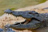 Krokodýl nilský, crocodylus niloticus