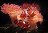 Clownfishes