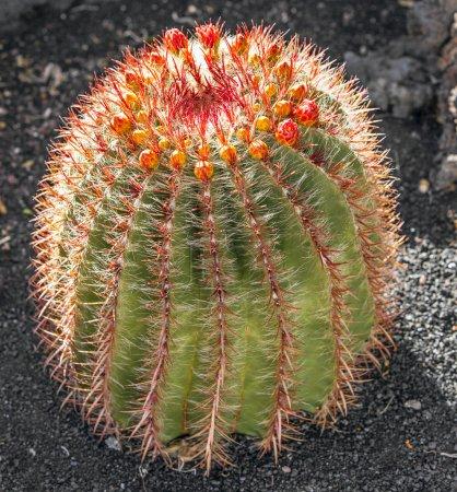 Photo pour Cactuses in Lanzarote island, Espagne Echinocactus grusonii (Golden Barrel Cactus, Mother-in-Law's Cushion) - image libre de droit
