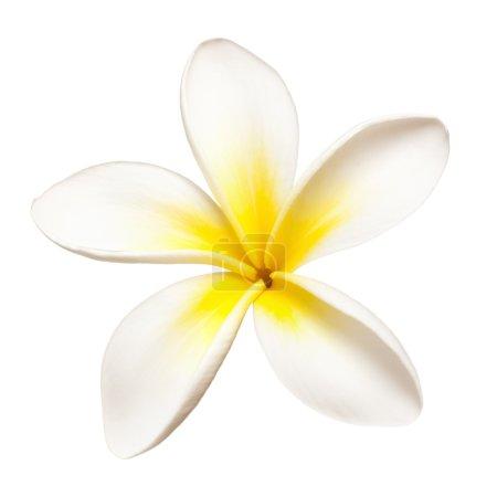 Photo pour Fleur simple frangipani ou plumeria, isolée sur blanc . - image libre de droit