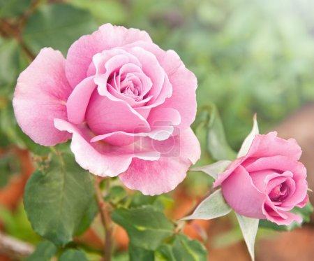 Photo pour Belles roses roses dans un jardin - image libre de droit