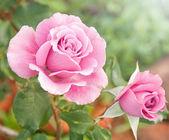 """Постер, картина, фотообои """"красивые розовые розы в саду"""""""