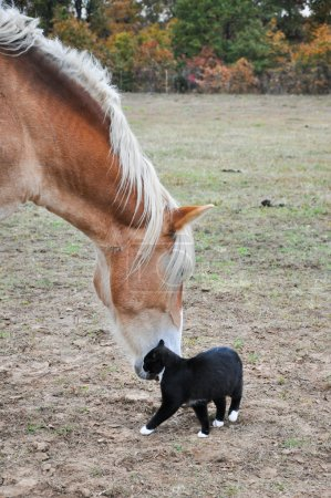 Black and white cat rubbing himself against a big horse's muzzle