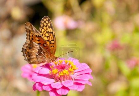 Photo pour Papillon fritillaire panaché se nourrissant d'une fleur rose vif de Zinnia - image libre de droit