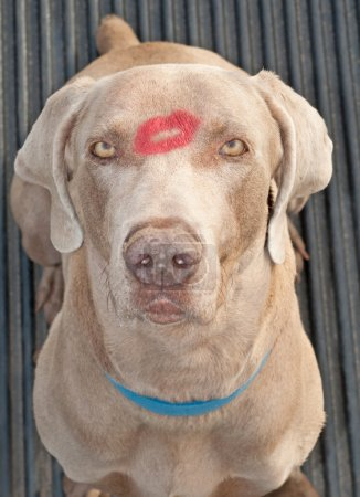 Comical image of a handsome Weimarager dog with a lipstick kiss