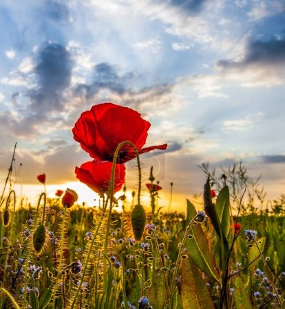 Photo for Wild poppies at dawn with sun rising in the background at a meadow - Royalty Free Image