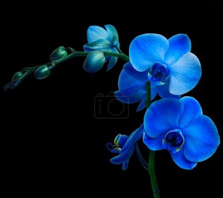 Foto de Orquídeas Phalaenopsis en fondo negro - Imagen libre de derechos