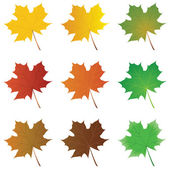 Vector set of summer and fall maple leaves