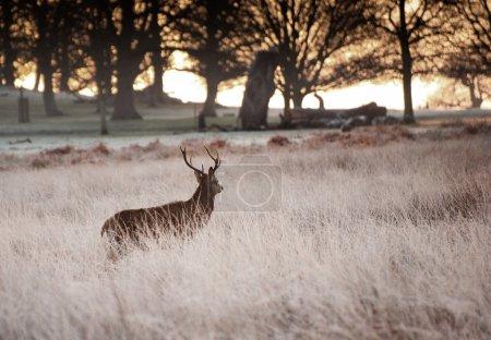Photo pour Cerf rouge cerf marche vers le soleil levant à travers les arbres sur givré paysage matin d'hiver - image libre de droit