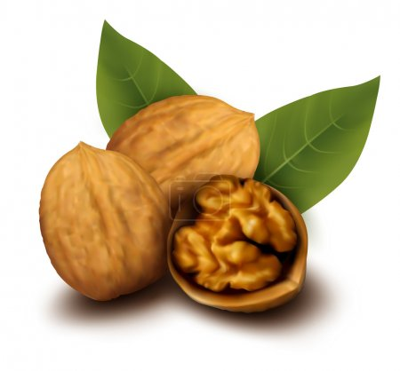 Walnuts and a cracked walnut Vector illustration