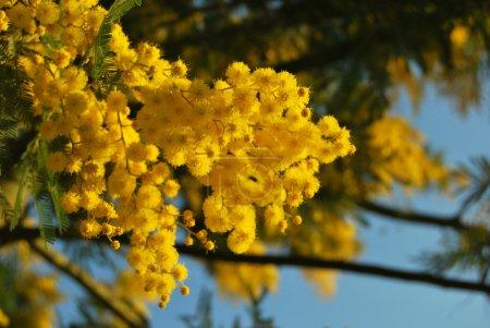 Mimosa flower 031
