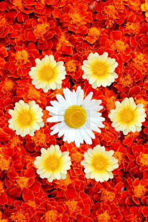 White and yellow daisies in the middle of french marigold