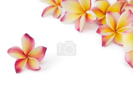Photo pour Frangipani, plumeria, fleur de frangippani, isolé sur fond blanc - image libre de droit