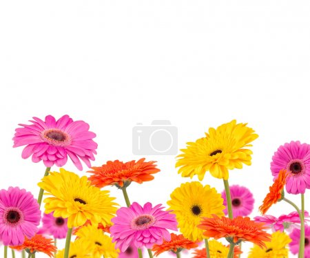 COlored gerber flowers isolated on white backgroun...