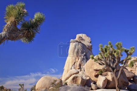 Rock Yucca Brevifolia Mojave Desert Joshua Tree National Park C