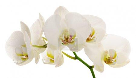 Foto de Rama de closeup orquídea blanca - Imagen libre de derechos