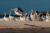 Pelikánů bílých