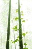 Bamboo and vine with morning fog weather