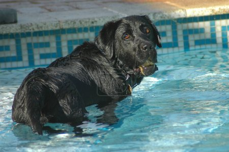 Labrador dog swimming