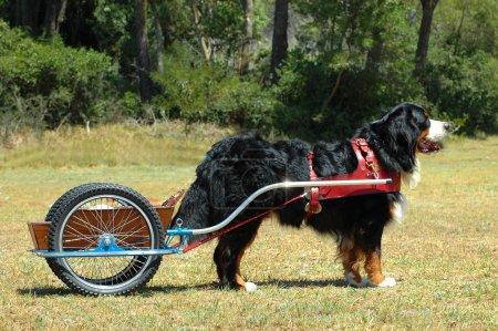 Carting Bernese Mountain dog