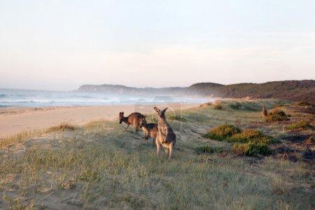 Kangaroos Grazing on Beach