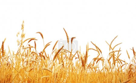 Photo for Wheat on a white background. Wheat crop. - Royalty Free Image