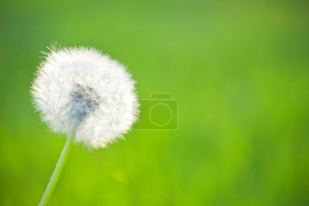 Photo for Spring dandelion on green natural background - Royalty Free Image
